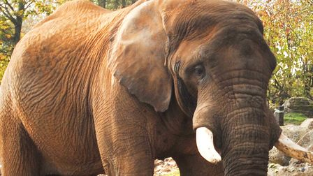 In February the zoo opened up their elephant bush walk to allow visitors a better view of bull eleph
