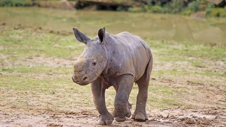Kirafu the white rhino was reunited with his mum Otto at the zoo. Picture: COLCHESTER ZOO
