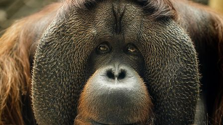 Rajang the famous orangutang died in December. Picture: SCOTT DAVEY