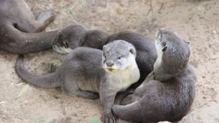 A number of new otter pups were born in 2018. Picture: COLCHESTER ZOO