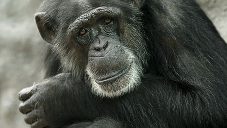 The Zoo said goodbye to 40-year-old chimpanzee Billy-Joe in March. Picture: SCOTT DAVEY