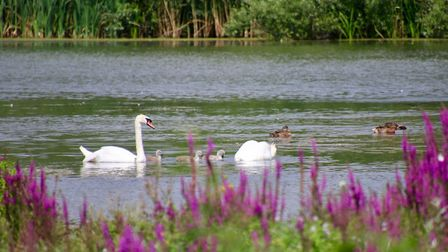 Family of swans, plus other wildfowl at Lackford Lakes, one of the Suffolk Wildlife Trust reserves y