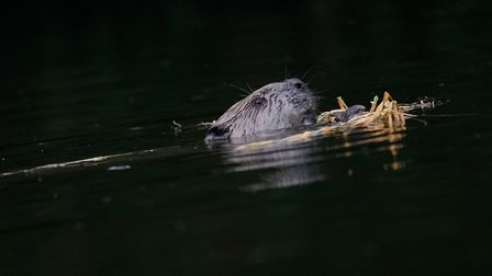 Beavers are native to the UK but were wiped out over 400 years ago. Picture: RUSSELL SAVORY