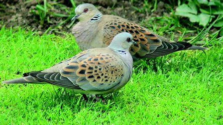 Two turtle doves. Picture Paul King/BTO