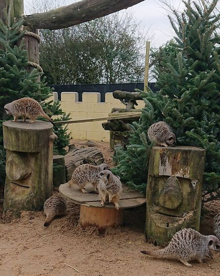 Meerkats at Suffolk Owl Sanctuary playing with Christmas trees. More trees are needed for them to en