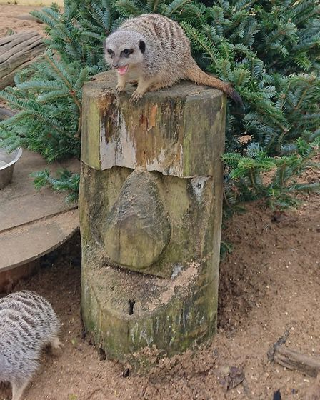 Suffolk Owl Sanctuary is appealing for old Christmas trees for its meerkats, red squirrels and ferre
