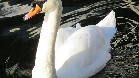 A swan was reported in the central reservation on the A12 Picture: PETER BASH