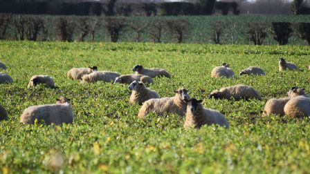 Photograph of well fed sheep Picture: JIM ROBERTS