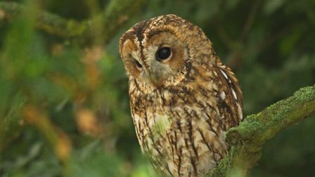 Evidence suggests tawny owls are disappearing from urban areas Pic: Russell Savory
