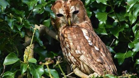 The survey hopes to discover what impact light pollution might be having on tawnies Pic: Ron Smit