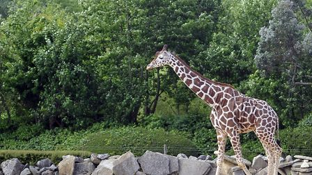 A giraffe walks about at the Colchester Zoo. Picture: SUE ANDERSON