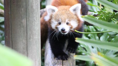 Iniya the sweet red panda cub was a firm favourite with the zoo visitors. Picture: COLCHESTER ZOO