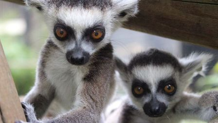 Colchester Zoo's ice lolly lemurs Picture: COLCHESTER ZOO