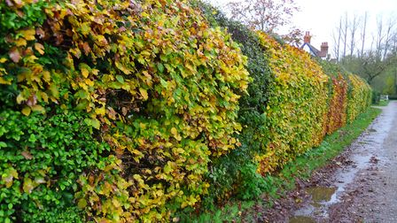 The hedge was stolen from a property in Tostock near Bury St Edmunds (stock image) Picture: PETER BA