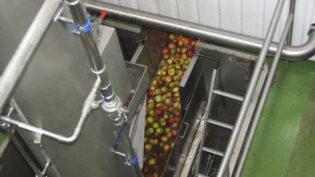 Apples heading into Aspall's new apple press plant Picture: MARTIN CHAMBERS
