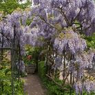 Beautiful wisteria on a frame at RHS Garden Wisley. Picture: Tim Sandall/RHS/PA.