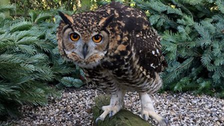 Birds at Suffolk Owl Sanctuary have been hunting among old Christmas trees. Picture: SUFFOLK OWL SAN