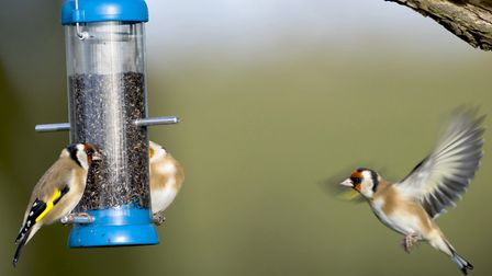 Goldfinches are just one of the birds you are likely to see Picture: John Bridges