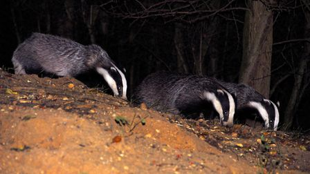 Four badgers were killed on Suffolk and Essex roads in 2017 Picture: ALAN BALDRY