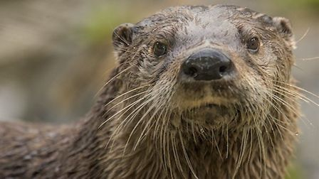 An otter was among the victims of roadkill in 2017 Picture: ABF THE SOLDIERS' CHARITY