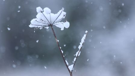 Snow on a weed in the garden