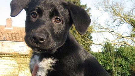 Bowza the Rottweiler, Labrador and Husky cross at just eight weeks old Picture: DON COX