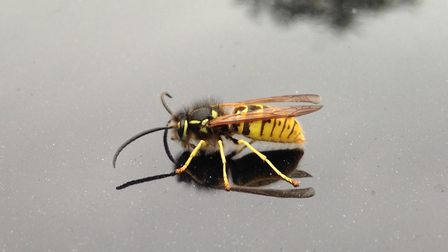 There was an explosion in wasp numbers last year, according to Command Pest Control Picture: SIMON