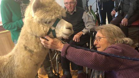 Violet Shipman greets an alpaca at Hadleigh Nursing Home. Picture: KINGSLEY HEALTHCARE
