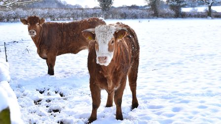 Young heifers out in the snow waiting for their breakfast Picture: ANGELA GOODWIN