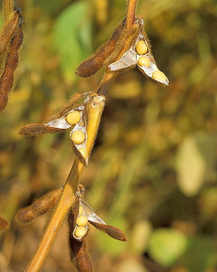 A soybean plant Picture: WIKIMEDIA