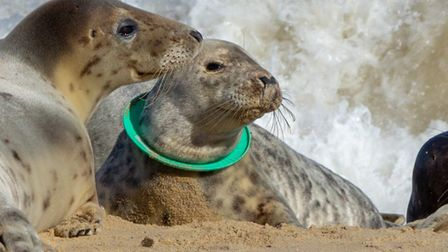 A seal with a green plastic frisbee caught round its neck. Picture: Glenn Mingham