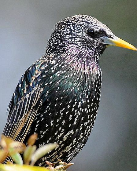 Starling in the garden Pic:Alan Baldry