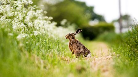 Hare on path Pic: Frances Crickmore