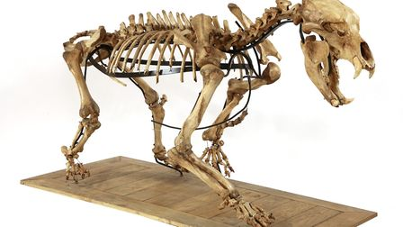 A private buyer bidding in the room spent £13,000 on this complete cave bear skeleton (Ursus spelaeu