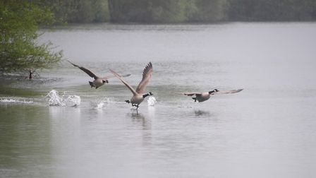 Geese at the Nunnery Lakes Nature Reserve Picture: DENISE BRADLEY