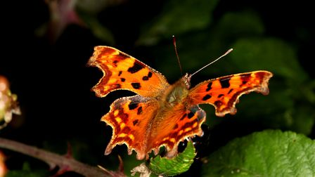 Late Autumn Comma butterfly Picture: ROBERT MCKENNA