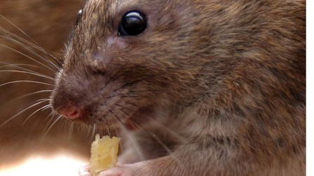 Rat numbers have been rising inexorably across East Anglia and beyond for a number of years, accordi