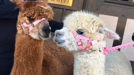 Would you like to have alpaca join your wedding day? Picture: PRESTED HALL