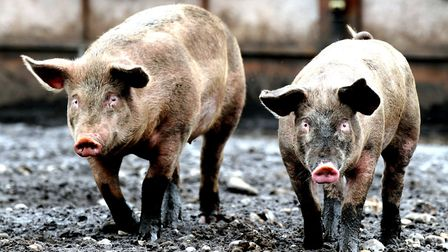 Suffolk's pig farmers are facing a tough time as costs go up and pig prices fall Picture: ALEX FAIR