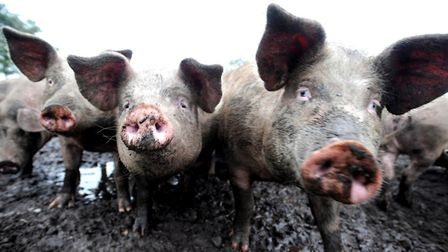 Some East Anglian pig farmers are exiting the industry, says Peter Crichton Picture: ALEX FAIRFULL