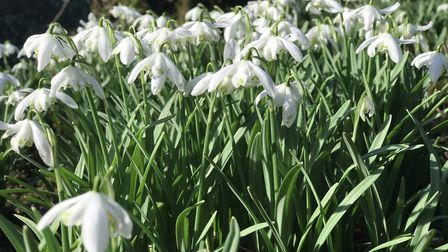 Spring is in bloom, as snowdrops blossom at Hedingham Castle. Picture: Ella Wilkinson