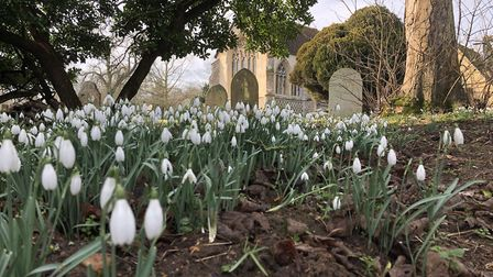 The snowdrows are springing up across East Anglia, like these in the yard of St Mary the Virgin Chur