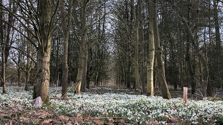 The snowdrows are springing up across East Anglia. Lawford's Church Lane is carpeted with the flower