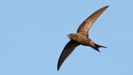 Swift numbers have dropped by 50% in past 20 years, partly because nest sites have disappeared