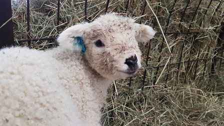 Adorable first signs of spring at Baylham Rare Breeds Farm Picture: RACHEL EDGE