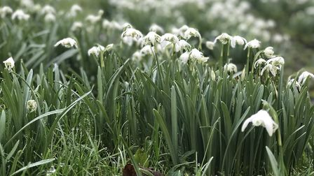 Hedingham Castle has been covered in a blanket of snowdrops in recent weeks Picture: Ella Wilkinson