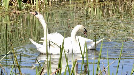 Should we feed bread to the swans? Mark Murphy says yes but is he right? Picture: Nigel Pickover