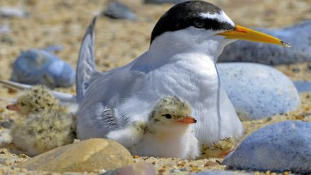 Nesting little tern with young Picture: Kevin Simmonds