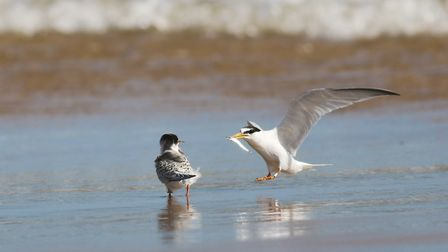 Parent little tern feeding young Picture: @Spinkybird