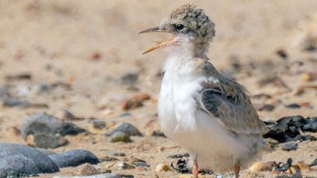 Younf Little tern Picture: Lyn Ibbitson